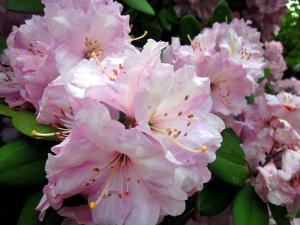 rhododendronnewblog