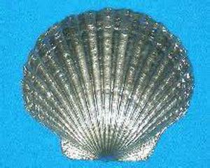 scallopshell